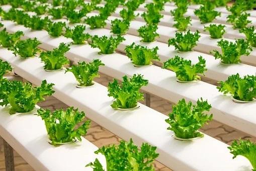 piantine coltivate in maniera idropinica