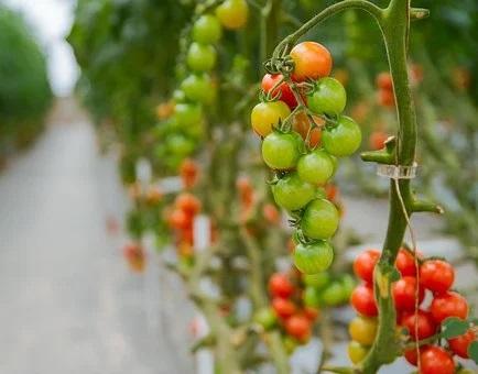 Coltivazione di pomodori idropinici